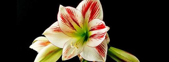 Ωροσκόπιο Λουλουδιών – Αμαρυλλίς