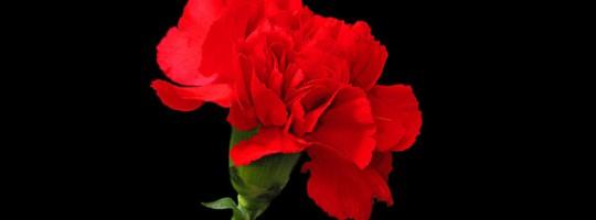 Ωροσκόπιο Λουλουδιών – Γαρύφαλλο