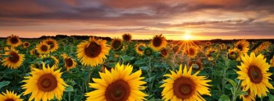 Ωροσκόπιο Λουλουδιών – Ηλίανθος
