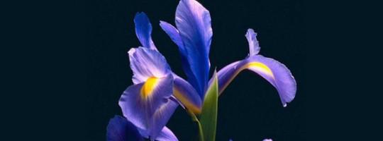 Ωροσκόπιο Λουλουδιών – Ίριδα