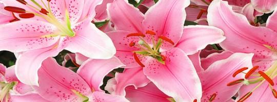Ωροσκόπιο Λουλουδιών – Λίλιουμ
