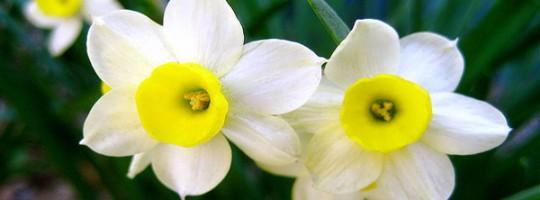 Ωροσκόπιο Λουλουδιών – Νάρκισσος