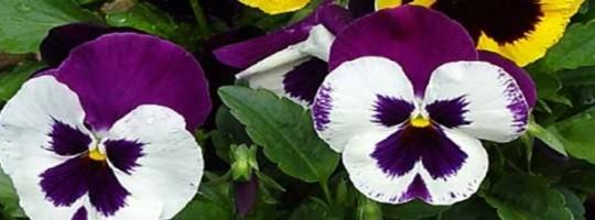 Ωροσκόπιο Λουλουδιών – Πανσές