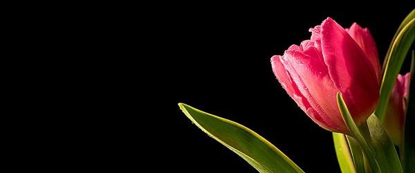 Ωροσκόπιο Λουλουδιών – Τουλίπα