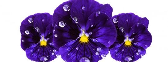 Ωροσκόπιο Λουλουδιών – Βιολέτα