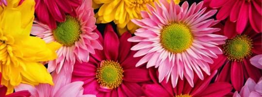 Ωροσκόπιο Λουλουδιών – Χρυσάνθεμο