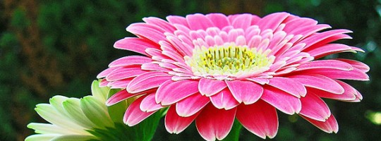 Ωροσκόπιο Λουλουδιών – Ζέρμπερα